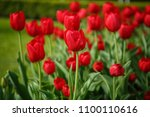 beautiful colorful red tulip... | Shutterstock . vector #1100110616