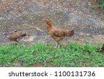 laying hen breeder | Shutterstock . vector #1100131736