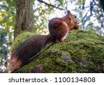 Small photo of Squirrel (Sciurus) with fluffy tail eating a nut on the tree in the forest