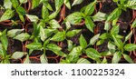 young green seedlings plants... | Shutterstock . vector #1100225324