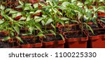 young green seedlings plants... | Shutterstock . vector #1100225330