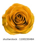 orange flower rose  on white... | Shutterstock . vector #1100230484