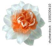 flower white red  narcissus on... | Shutterstock . vector #1100230610