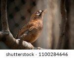 A Thrush Bird Outdoors
