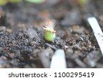 adorable miniature cactus  baby ...   Shutterstock . vector #1100295419