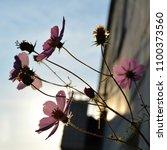 beautiful pink cosmos flowers... | Shutterstock . vector #1100373560