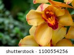 orange and red cymbidium orchid ...   Shutterstock . vector #1100554256