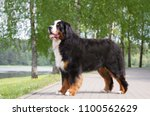 Bernese Mountain Dog Posing In...