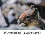 a golden mantled squirrel... | Shutterstock . vector #1100593964