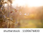 ripe olives are on branch and... | Shutterstock . vector #1100676833