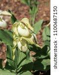 large flowered cypripedium ... | Shutterstock . vector #1100687150