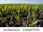 young wheat seedlings growing... | Shutterstock . vector #1100697053