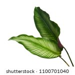 Calathea ornata (Pin-stripe Calathea) leaves, Tropical foliage isolated on white background, with clipping path
