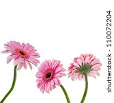 Macro Of A Gerber Daisy With...