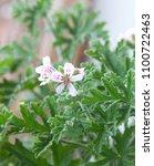 pelargonium graveolens 'lady... | Shutterstock . vector #1100722463