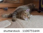 Stock photo a scottish kitten is playing 1100751644