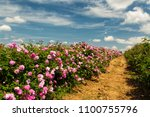 Stock photo bulgarian rose valley near kazanlak rose damascena fields fluffy white clouds in the sky 1100755796