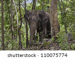 Adult male Asian elephant (Elephas maximus) walks through the forest. - stock photo