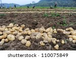 Harvesting In A Potato Field
