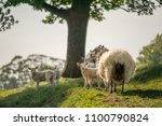 little cute new born lambs with ... | Shutterstock . vector #1100790824