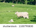 mother sheep with a new borm... | Shutterstock . vector #1100790830