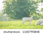 little cute baby lamb on a... | Shutterstock . vector #1100790848