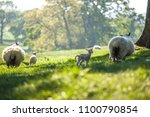 little cute new born lambs with ... | Shutterstock . vector #1100790854