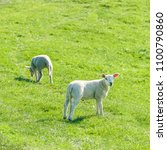 little cute new born lambs on a ... | Shutterstock . vector #1100790860