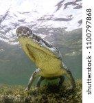Small photo of American Crocodile rises off the sea grass bed at Banco Chinchorro, Mexico.