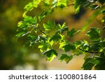 green maple leaves in the... | Shutterstock . vector #1100801864