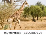 giraffe and wild boar in... | Shutterstock . vector #1100807129