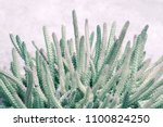 close up of cactuses. pale... | Shutterstock . vector #1100824250