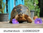 Stock photo portrait of radiated tortoise the radiated tortoise eating flower tortoise sunbathe on ground with 1100832029