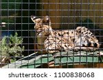serval in a southern california ... | Shutterstock . vector #1100838068