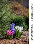 White  Blue And Pink Hyacinth...