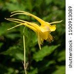 Yellow Flower Of Aquilegia