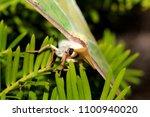 luna moth   close up photograph ... | Shutterstock . vector #1100940020