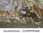 the white throated dipper ... | Shutterstock . vector #1100949668