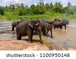 asian elephant in pinnawala... | Shutterstock . vector #1100950148