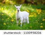 White Little Goat Standing On...