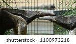 anteater in the zoo | Shutterstock . vector #1100973218