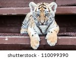 Porttrait Of Tiger Cub On Blac...
