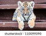 Porttrait Of Tiger Cub On Blac...