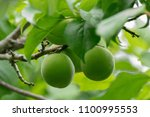 Green Plums  Ume  Harvested Fo...