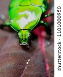 Small photo of close up of a green color insect - dung beetle - sacred scarab - found in a garden in sri lanka