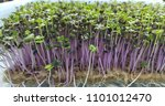 cabbage micro greens sprouted... | Shutterstock . vector #1101012470