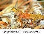 a lizard on ground | Shutterstock . vector #1101030953