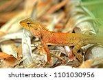 a lizard on ground | Shutterstock . vector #1101030956