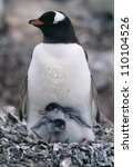 Stock photo penguin with chicks 110104526