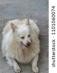 Small photo of Coco (Indian Spitz Male). The Indian Spitz is an extremely bright and active dog breed. It is adaptable to living in a small apartment, but it can also thrive in a large farmhouse with equal ease.